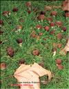 Королевский гриб – Agaricus black