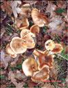 Лисички – Cantharellus cibarius