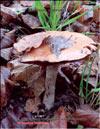 Подосиновик красный – Leccinum scabrum