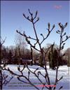 Магнолии-кадук (Magnolia-caduc)