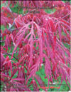 Japanese maple �Fire glow� 