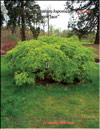 Japanese maple �Green lace� 