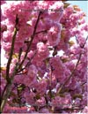 Japanese cherry �Kanzan�
