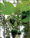 �Golden� figs