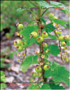 Red currant � Ribes vulgare Lam.