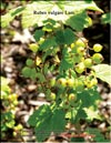 Red currants � Ribes vulgare Lam.