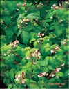 Red raspberries � Rubus daeus