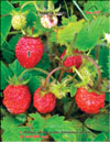 Wild strawberries � Fragaria vesca L.