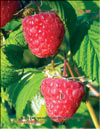 Red raspberries in May