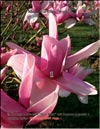 Magnolia �Star Wars�
