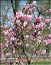 Magnolia �Royal Crown�