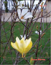 Magnolia �Yellow Bird�