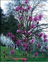Magnolia «Linely»