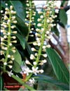 Lusitanian cherry-laurel � Prunus laurocerasus L.