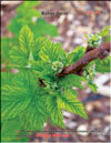 Red raspberry � Rubus daeus