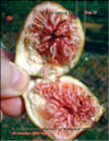 «Bloody» figs