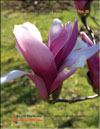 Magnolia �Betty�