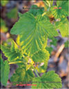 Yellow raspberries � Rubus ellipticus