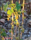 Red currants � Ribes vulgares Lam.