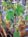 Black currants � Ribes nigrum L.