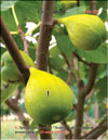 Mature �Honey� figs