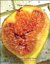 Huge �Bloody� figs in 2009