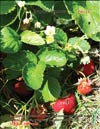 Garden strawberries (Fragaria ananassa)