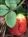 The garden strawberries (Fragaria ananassa)