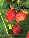 Wild strawberries (Fragaria vesca L.)