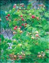 Yellow raspberry (Rubus ellipticus) and Red raspberry (Rubus daeus)