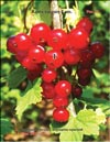 Red currant (Ribes vulgare Lam.)