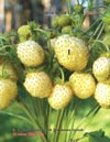 White wild strawberries